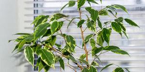 Hoe verzorg ik een Ficus benjamina?