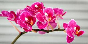 Hoe verzorg ik een orchidee?