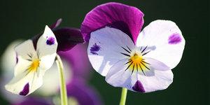 Hoe verzorg ik viooltjes?