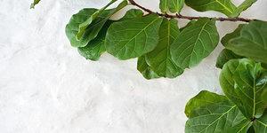 Hoe verzorg ik een Ficus lyatra?