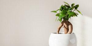 Hoe verzorg ik een Ficus Ginseng?