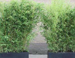 Welke soort bamboo is het meest geschikt?