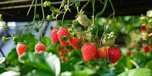 Aardbeien kweken, zo doe je dat!