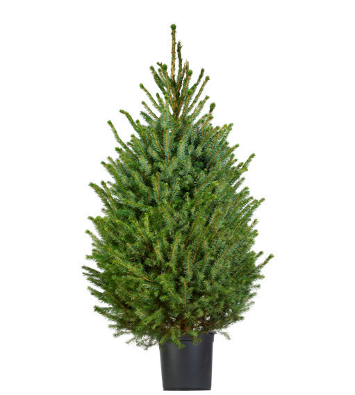 Vaak Kerstboom kopen? Bekijk het assortiment kunst en -kerstbomen | Praxis PO33